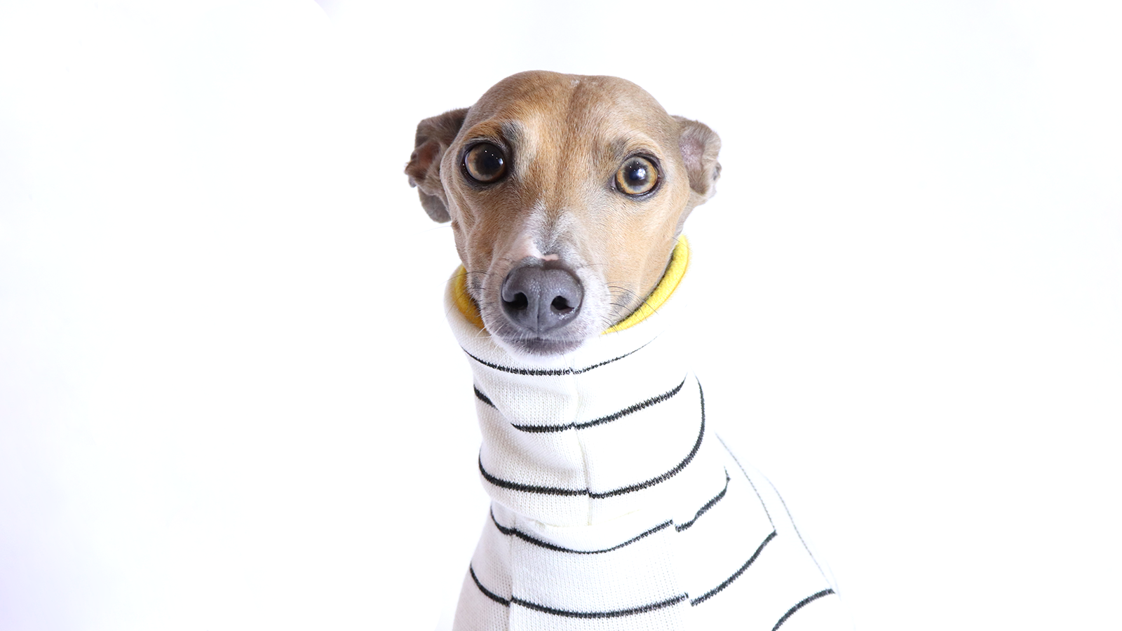 Italian Greyhound Clothing | Pros and cons to own an Iggy