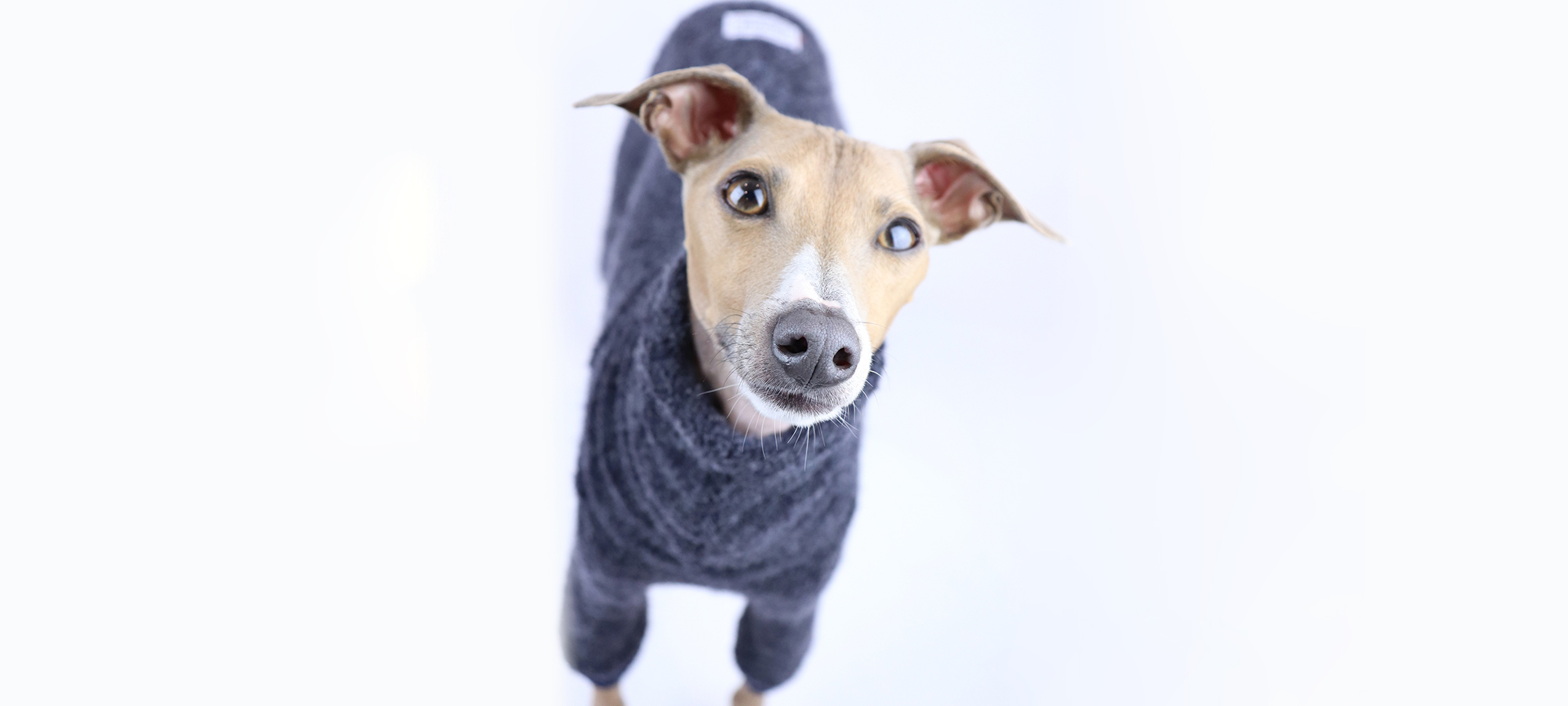 Italian Greyhound CLothing and Iggy Wear
